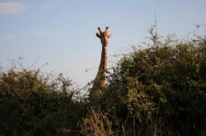 Giraff behind the bush