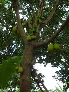 Jackträd