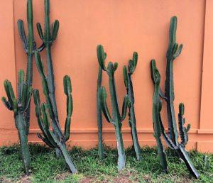 Kaktusar i varje hörn